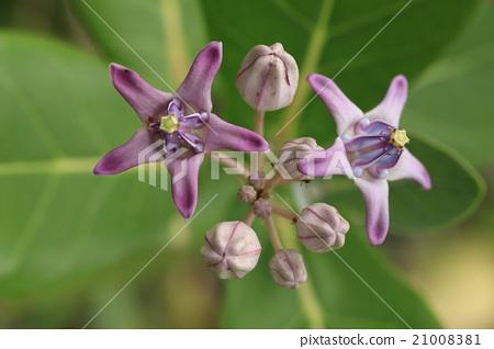 """자연 식물 아콘 일명 """"크라운 꽃"""" 왕관을 보이는지는 따로하고 매우 인상적인 꽃입니다 21008381"""