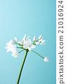 蓓蕾 蔥 開花 21016924