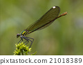 side of wild gold green dragonfly 21018389