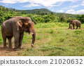 asian elephant in elephant camp 21020632