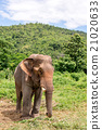 asian elephant in elephant camp 21020633