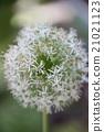 花朵 蔥 開花 21021123