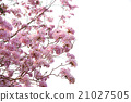 Pink flowers Tabebuia rosea blossom 21027505