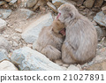 Family of japanese snow monkeys cold feeling  21027891