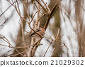 Chaffinch on a twig in the winter 21029302