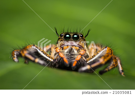 Macro of jumping spider. 21035081