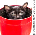 Black kitten in red bucket 21037793