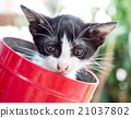 Black and white kitten in red bucket with bokeh 21037802