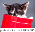 Black and white kitten in bucket with gray 21037805