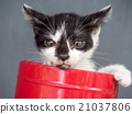 Black and white kitten in bucket with gray 21037806