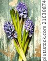 Spring hyacinth 21039874