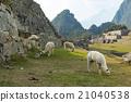 Lama in Machu Picchu 21040538