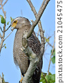 crested serpent eagle, spilornis cheela, eagle 21045475