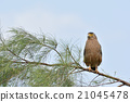 crested serpent eagle, spilornis cheela, eagle 21045478