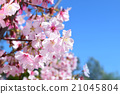 Japanese cherry blossoms in full bloom in Los Angeles, Palos Verdes Botanical Garden morning 21045804
