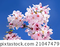 Japanese cherry blossoms in full bloom in Los Angeles, Palos Verdes Botanical Garden morning 21047479