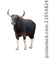 male banteng isolated 21054824