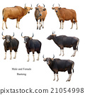 male and female banteng  isolated 21054998