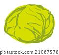 捲心菜 21067578