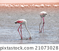 Flamingos eating from shallow water 21073028