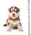 Siberian cooper red husky puppy 21073196