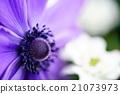 春天的花朵海葵 21073973