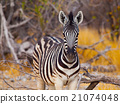 Young zebra front view 21074048