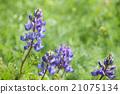 lupine, lupinu, wildflowers 21075134