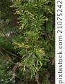 日本柳杉 针叶树 针叶 21075242