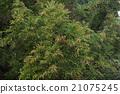 日本柳杉 针叶树 针叶 21075245