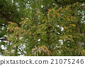 日本柳杉 针叶树 针叶 21075246