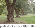 橄榄树 树木 树 21078704