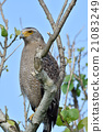 crested serpent eagle, spilornis cheela, eagle 21083249