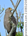 crested serpent eagle, spilornis cheela, eagle 21083250