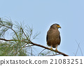 crested serpent eagle, spilornis cheela, eagle 21083251