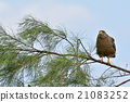crested serpent eagle, spilornis cheela, eagle 21083252