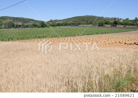 Small wheat field of Provence 21089621