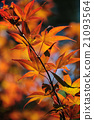Autumn Leaves of Japanese Maple Tree 21093564