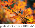 Japanese Maple Tree 21093565