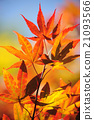 Autumn Leaves of Japanese Maple Tree 21093566