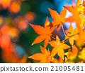 Brilliant autumn leaves 21095481