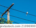 Dove is a ture Lover,two birds are on wire. 21096900