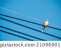 Dove is a ture Lover,two birds are on wire. 21096901