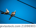 Dove is a ture Lover,two birds are on wire. 21096903
