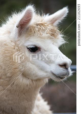 alpaca 21102693