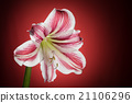 Amaryllis bloom blooming. Hippeastrum flower 21106296