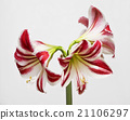 Amaryllis bloom blooming. Hippeastrum flower 21106297