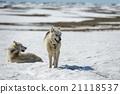 Siberian Husky in snow 21118537