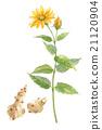洋薑 花朵 花 21120904