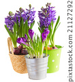 Spring flowers in pots 21127292